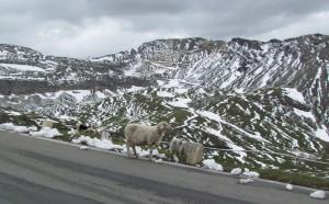 Owce swobodnie wędrujące wzdłuż Großglockner Hochalpenstraße w Austrii