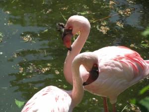 Flamingi w ZOO w Chorzowie