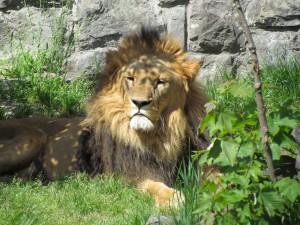 Lew w ZOO w Chorzowie