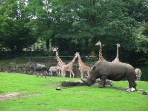 Sawanna w Dierenpark w Emmen w Holandii