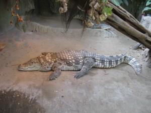 Krokodyl w zoo we Wrocławiu