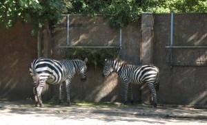 Zebry w zoo we Wrocławiu