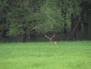 Jeleń w Gemenc erdő na Węgrzech