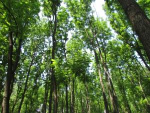 Las łęgowy Gemenc erdő na Węgrzech