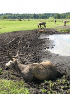 Park Dzikich Zwierząt w Kadzidłowie - chińskie jelenie milu