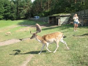 Park Dzikich Zwierząt w Kadzidłowie - daniele