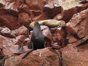 Lwy morskie na Islas Ballestas