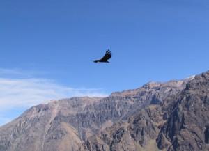 Kondor na Cruz del Condor w Wąwozie Colca
