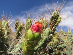 Kwitnący kaktus na Cruz del Condor