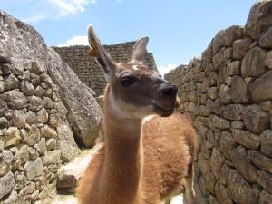 Lama na ruinach Machu Picchu