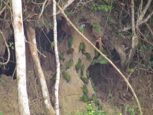 Papugi liżące glinę