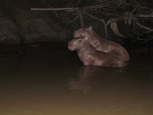 Kapibary w rzece Madre de Dios