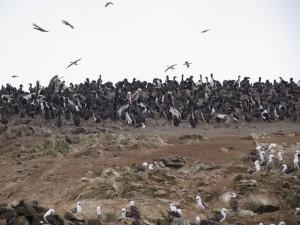 Kormorany i pelikany na Islas Ballestas