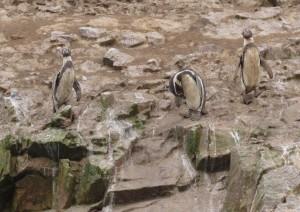 Pingwiny na Islas Ballestas