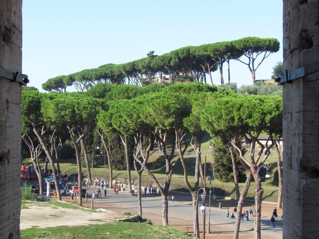 Wszechobecne pinie w Rzymie
