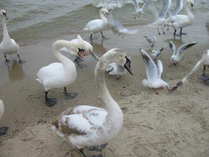 Łabędzie na plaży w Sopocie