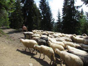 Kierdel owiec napotkany podczas zejścia z Turbacza