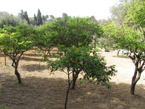 Drzewa pomarańczowe w Buskett Gardens