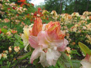Rododenrony w Parku Zdrojowym w Rabce