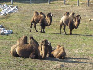 Wielbłądy w Nowym Zoo w Poznaniu