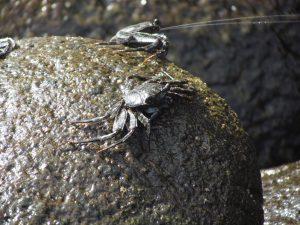 Kraby u wylotu Wąwozu Masca na Teneryfie