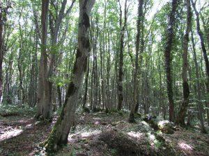 Las kolchidzki w Rezerwacie Sataplia