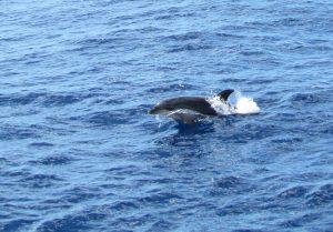 Delfin butlonosy podczas rejsu z Valle Gran Rey