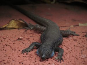 Jaszczurka w Los Cancajos na La Palmie