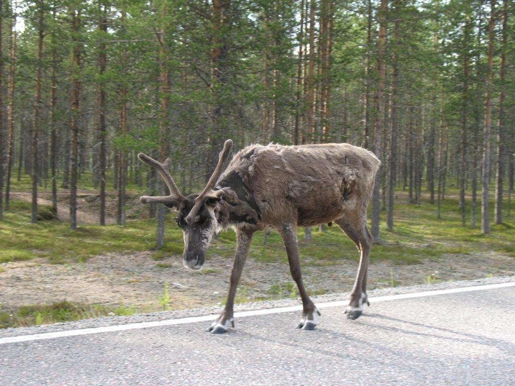 Renifer spacerujący po szosie w Finlandii