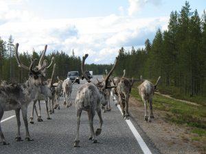Renifery w drodze do Muonio w Finlandii
