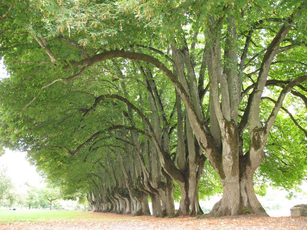 Aleja drzew w Abbaye de Noirlac