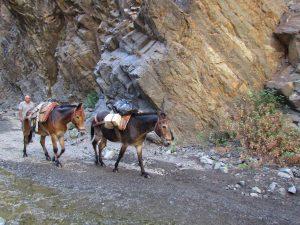Muły w Barranco de las Angustias na La Palmie