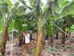 Plantacja bananów w Tazacorte na La Palmie