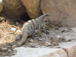 Iguana - legwan w Uxmal