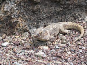 Jaszczurka olbrzymia z El Hierro w El Lagartario