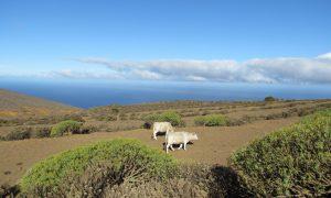 Pasące się krowy na pastwiskach w drodze do El Sabinar
