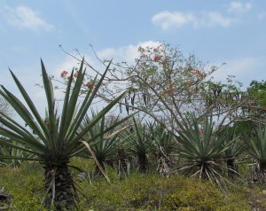 Sizal rosnący w Hacienda Sotuta de Peon