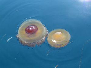 Meduzy w morzu w miejscowości Ksamil