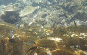 Ryby obserwowane podczas kąpieli w La Maceta na El Hierro