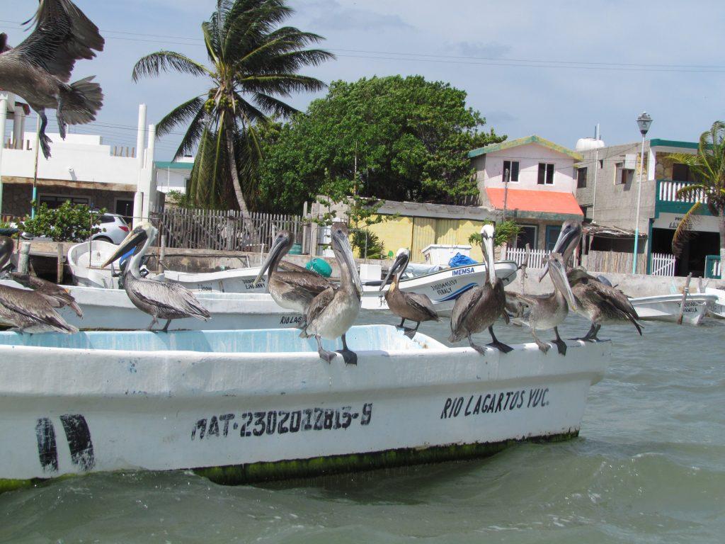Pelikany na przystani nieopodal Rezerwatu Rio Lagartos