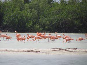 Flamingi w Rezerwacie Rio Lagartos