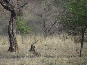 Gazela w Parku Narodowym Ranthambore
