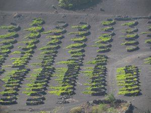 Winnice w regionie La Geria na Lanzarote