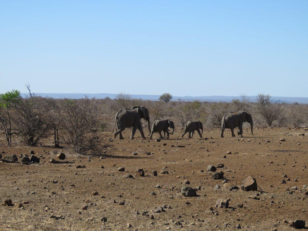 Słonie w Parku Krugera w RPA