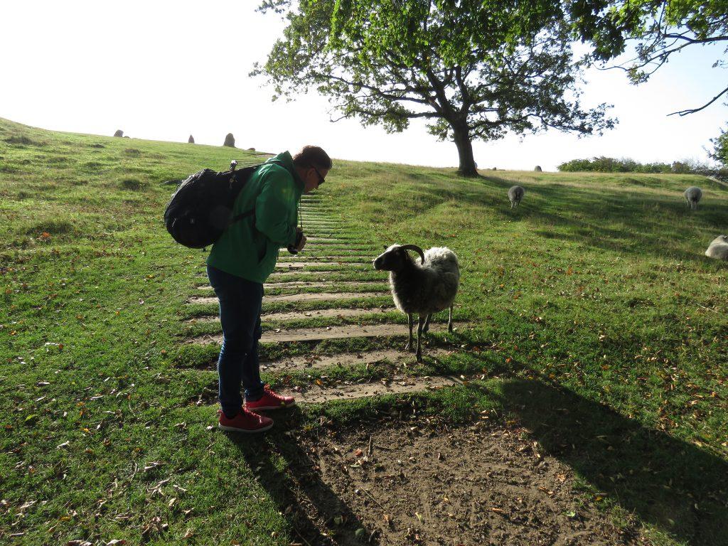 Owce jako ekologiczne kosiarki na Cmentarzysku Lindholm Høje