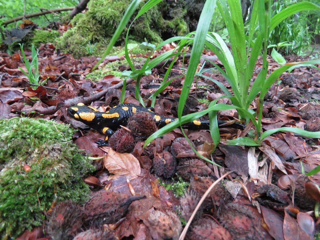Piękna salamandra plamista